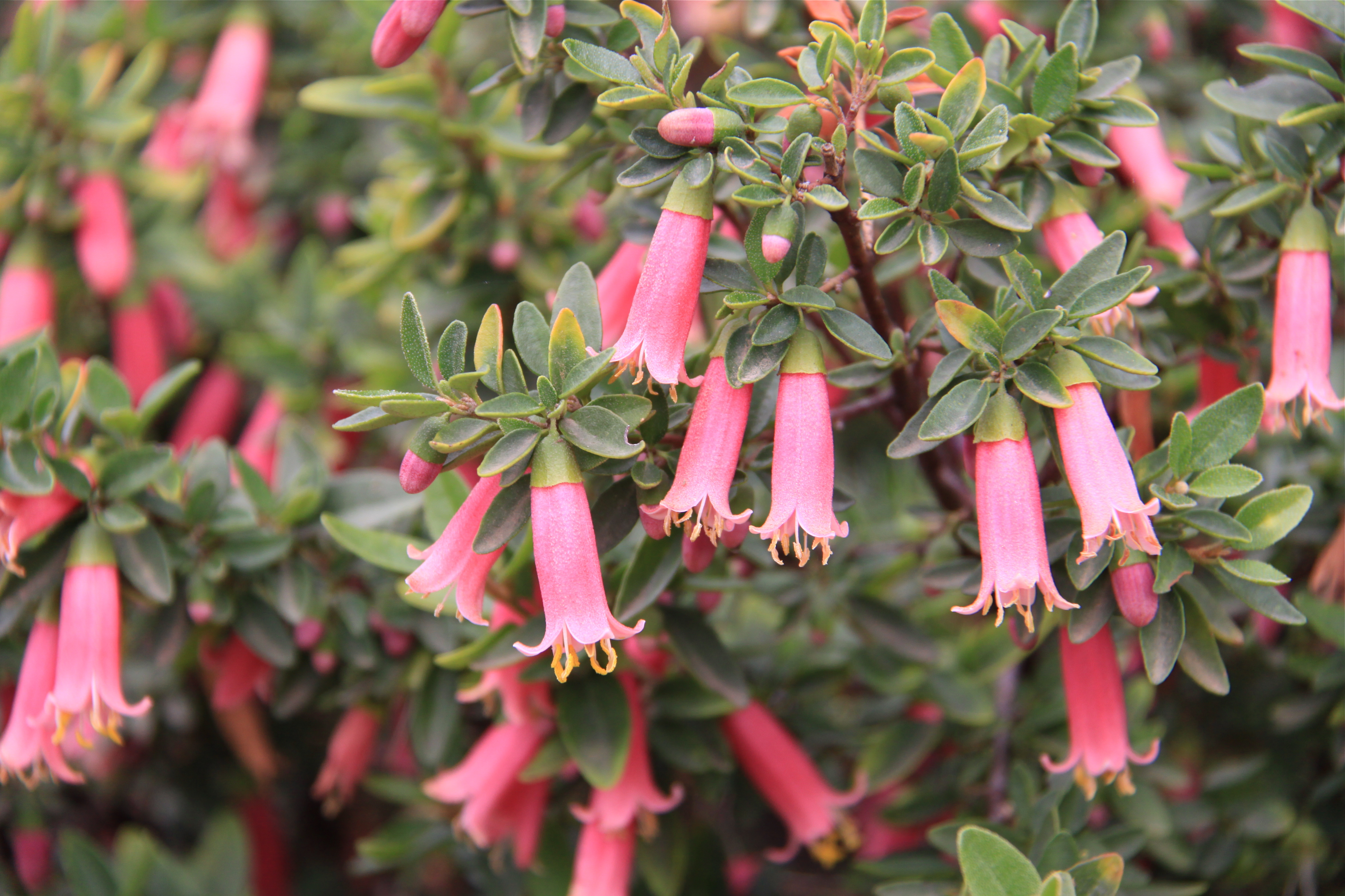 Plant Of The Month Boyanup Botanical