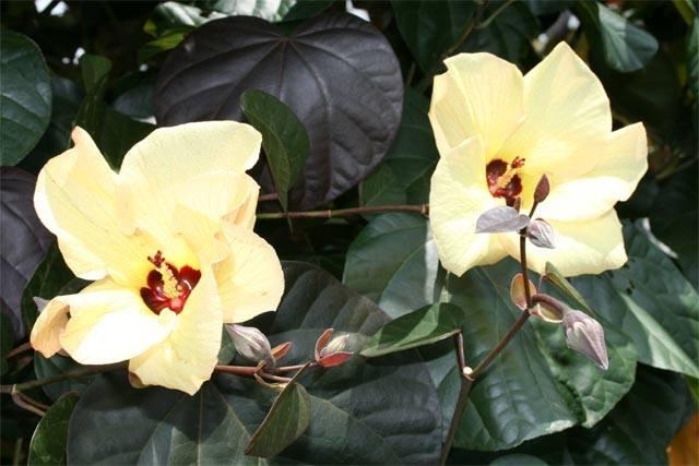 Plant Of The Month Tilapariti Tiliaceum Rubrum Boyanup Botanical